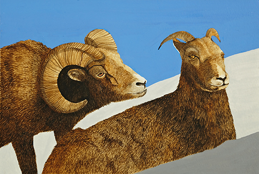 watercolor drawing bighorn rams